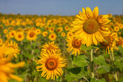 Tournesol sur la fin de champ Image stock