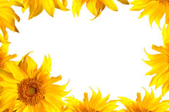 Tournesol sur le blanc Photo stock