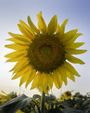 Tournesol sur le ciel clair brillant Photo stock