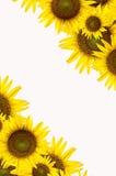 Tournesol sur le fond blanc Image stock