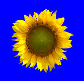 Tournesol sur le fond bleu Photos stock