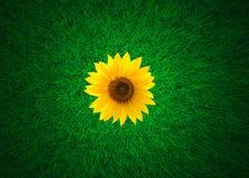 Tournesol sur le pré d'herbe verte, vue supérieure, grande-angulaire Images libres de droits