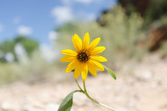 Tournesol sur le sable Photo stock