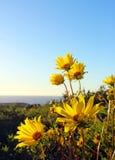 Tournesol, Torrey Pines State Park, La Jolla images libres de droits