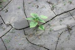 Tournesol vert de pousse sur la terre criquée Photos libres de droits