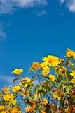 Tournesol Weed de Maxican de bloc avec bluesky Photo stock