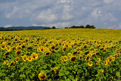 Tournesols Photo stock