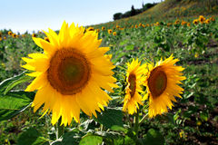 Tournesols Photos stock