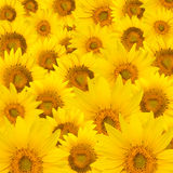 Tournesols Images stock