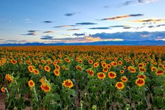 Tournesols photographie stock libre de droits