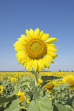 Tournesols Images libres de droits