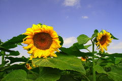Tournesols Photographie stock
