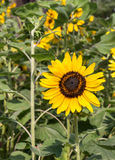 Tournesols d'isolat Image libre de droits