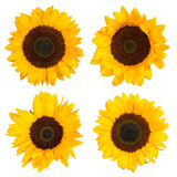 Tournesols d'isolement sur le blanc Photographie stock