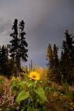 Tournesols dans le jardin nordique dans l'automne photos libres de droits