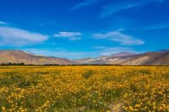 Tournesols de désert Images libres de droits