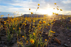 Tournesols de désert de floraison (canescens de Geraea), parc national de Death Valley, Etats-Unis Photographie stock