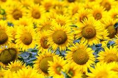 Tournesols de floraison Photo stock