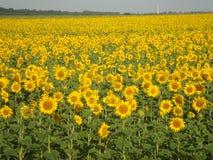 Tournesols de floraison Un temps merveilleux de l'année Image libre de droits