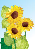 tournesols de fond Images stock
