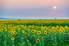 Tournesols en France Photos stock