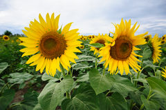 Tournesols en France Photo stock