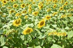 Tournesols en France Tournesols fleurissants dans le domaine Gisement de tournesol un jour ensoleillé Photo stock