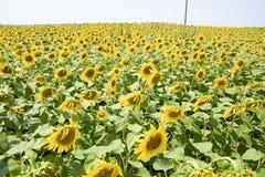 Tournesols en France Tournesols fleurissants dans le domaine Gisement de tournesol un jour ensoleillé Images stock