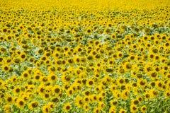Tournesols en France Tournesols fleurissants dans le domaine Gisement de tournesol un jour ensoleillé Photographie stock