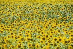Tournesols en France Tournesols fleurissants dans le domaine Gisement de tournesol un jour ensoleillé Photographie stock libre de droits