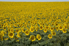 Tournesols en Hongrie Photos stock