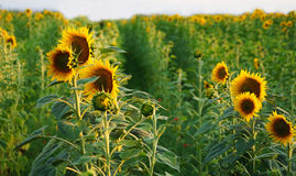 Tournesols en Toscane Photographie stock