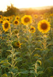 Tournesols en Toscane Photo stock