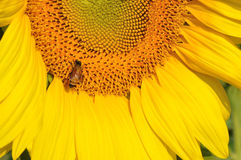 Tournesols et abeilles fonctionnantes Photo stock