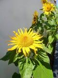 Tournesols et feuilles de floraison de vert sous la sous lumière Photos stock