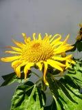 Tournesols et feuilles de floraison de vert sous la sous lumière Images stock