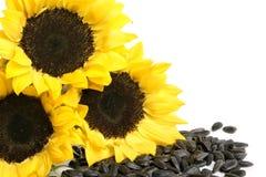 Tournesols et graines de tournesol jaunes photo libre de droits