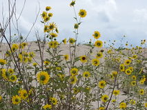 Tournesols et sable Photographie stock