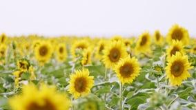 Tournesols fleurissants au jour nuageux image stock