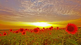 Tournesols fleurissants. 4K. PLEIN HD, 4096x2304. banque de vidéos