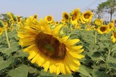 Tournesols, floraison de tournesols Photos libres de droits