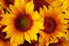 Tournesols jaunes Photographie stock libre de droits