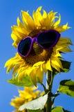 Tournesols jaunes avec des lunettes de soleil de coeur Image stock