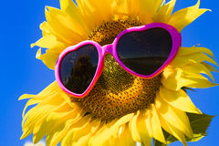 Tournesols jaunes avec des lunettes de soleil de coeur Photo stock