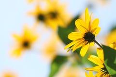 Tournesols jaunes brillants de contre-jour images stock