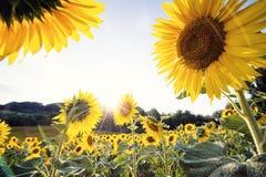 Tournesols jaunes en gros plan dans un jour ensoleillé Photo libre de droits