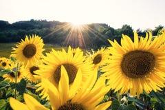 Tournesols jaunes en gros plan dans un jour ensoleillé Photo stock