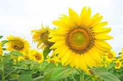 Tournesols jaunes lumineux Photographie stock libre de droits