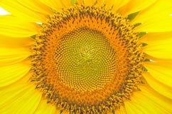 Tournesols jaunes lumineux Photos libres de droits