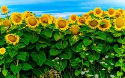 Tournesols jaunes lumineux sur le plan rapproché de champ sous un ciel bleu lumineux image libre de droits